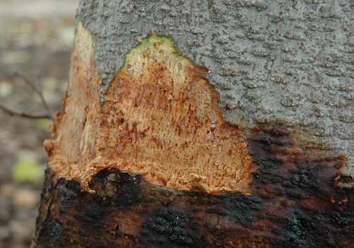 Collar Rot on Italian Alder Trees in California Caused by <i>Phytophthora siskiyouensis</i>