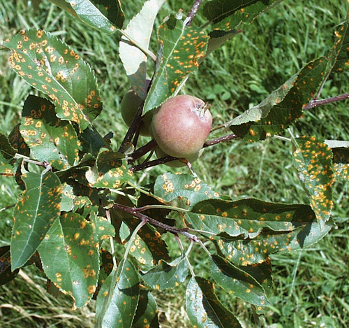 Relative Susceptibility of Selected Apple Cultivars to Cedar Apple Rust and Quince Rust