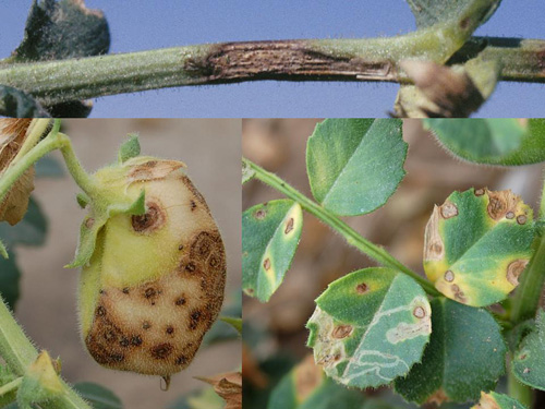 Evaluating Chickpea Genotypes for Resistance to Ascochyta Blight in Nebraska