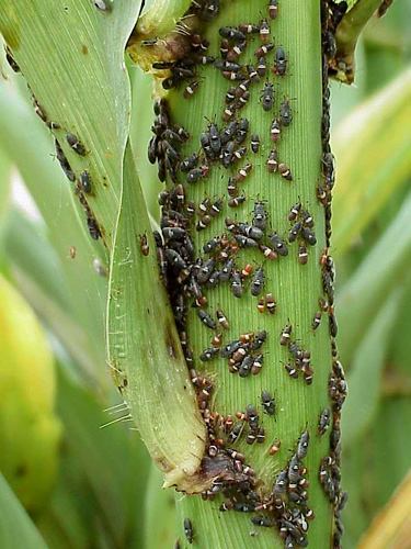 Evaluation of Resistance to Chinch Bug in Pearl Millet in Temperate and Subtropical Environments