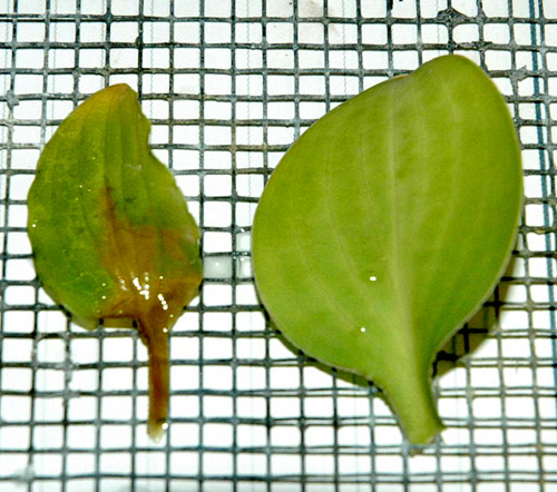 Development of a Rapid Method Using Oxalic Acid to Assess Resistance Among Hosta Cultivars to Petiole Rot Caused by <i>Sclerotium rolfsii</i> var. <i>delphinii</i>