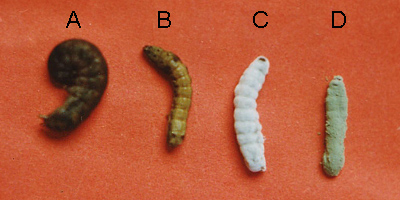 Pathogenicity of Native Entomopathogenic Fungus <i>Nomuraea rileyi</i> Against <i>Spodoptera litura</i>