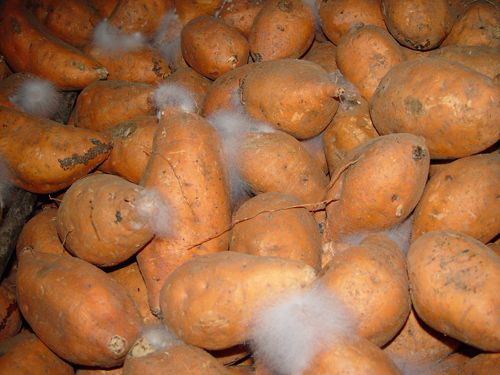 Evaluation of Alternative Decay Control Products for Control of Postharvest Rhizopus Soft Rot of Sweetpotatoes