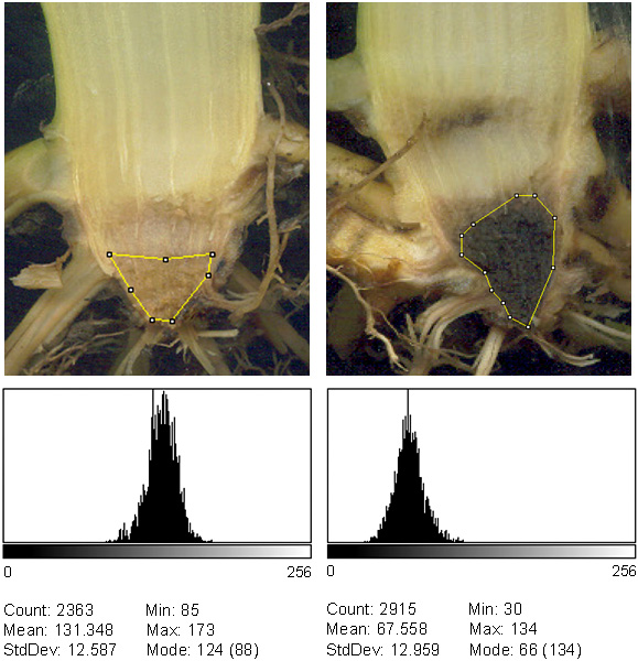 Relationships Between Yield and Crown Disease of Sweet Corn Grown in the Willamette Valley of Oregon