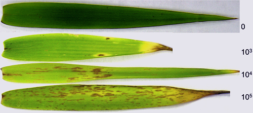 Exserohilum Leaf Spot on Tiger Grass