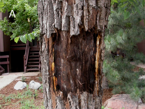 Black Walnut Mortality in Colorado Caused by the Walnut Twig Beetle and Thousand Cankers Disease