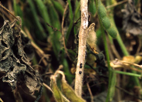 Effects of Diseases on Soybean Yields in the United States 1996 to 2007