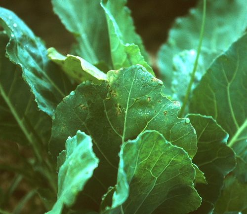 Potassium Phosphite Mixed with Other Fungicides Reduces Yield Loss to Downy Mildew on Collard