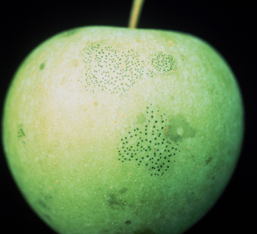 Relative Susceptibility of Selected Apple Cultivars to Sooty Blotch and Flyspeck