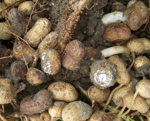 Etiology of Peanut Pod Rot in Nicaragua: I. The Effect of Pod Size, Calcium, Fungicide, and Nematicide