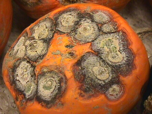 Survey of <i>Fusarium</i> spp. Associated with Fruit Rot of Pumpkin in Ohio