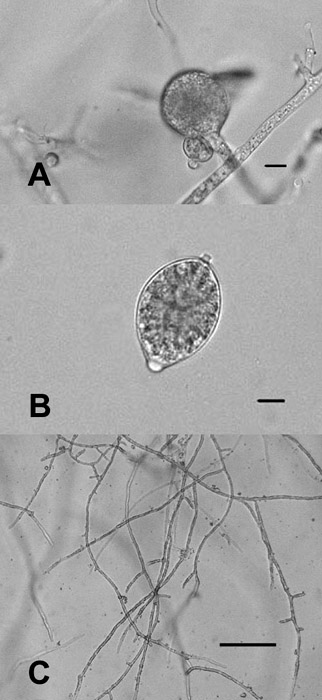 Differentiating <i>Phytophthora ramorum</i> and <i>P. kernoviae</i> from Other Species Isolated from Foliage of Rhododendrons