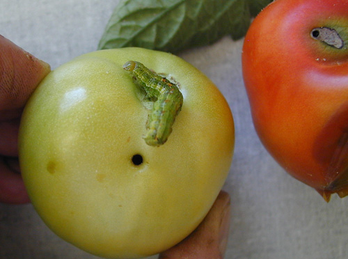 Control of <i>Helicoverpa zea</i> in Tomatoes with Chlorantraniliprole Applied Through Drip Chemigation