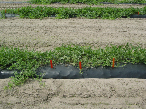 Cover Crops of Hybrid Common Vetch Reduce Fusarium Wilt of Seedless Watermelon in the Eastern United States