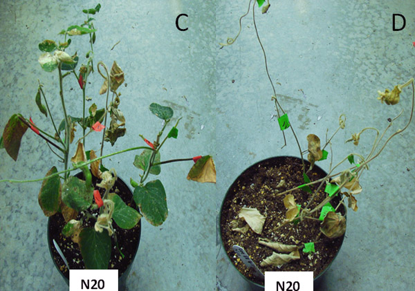 Factors to Improve Detection of <i>Alfalfa mosaic virus</i> in Soybean