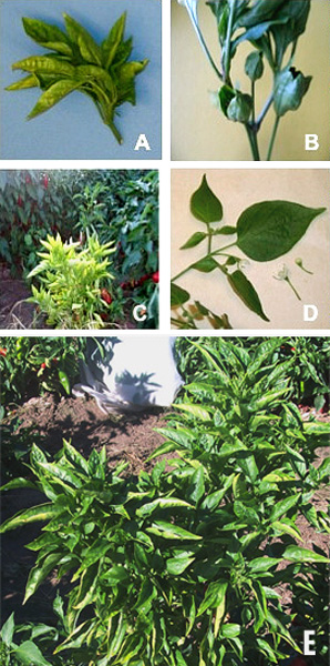 Brote Grande, A New Phytoplasma Associated Disease of Chile Peppers in the Desert Southwest
