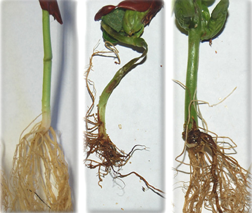 Root Rot of Dry Edible Bean Caused by <i>Fusarium graminearum</i>