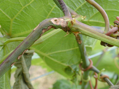 Evaluation of Northern Grape Hybrid Cultivars for Their Susceptibility to Anthracnose Caused by <i>Elsinoe ampelina</i>
