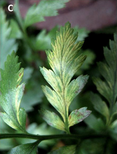 A Strain of Japanese holly fern mottle virus Infecting Leatherleaf Fern in the United States