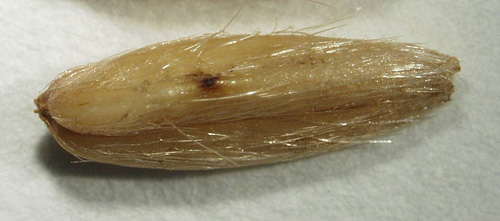 Mycobiota on Wild Oat (<i>Avena fatua</i> L.) Seed and Their Caryopsis Decay Potential