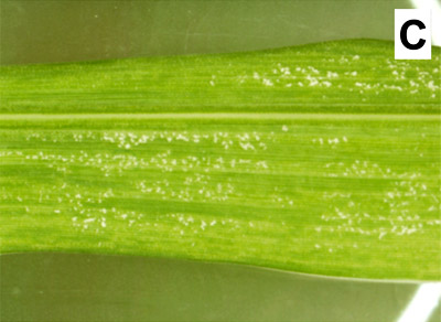 Screening Exotic Sorghum Germplasm, Hybrids, and Elite Lines for Resistance to a New Virulent Pathotype (P6) of <i>Peronosclerospora sorghi</i> Causing Downy Mildew