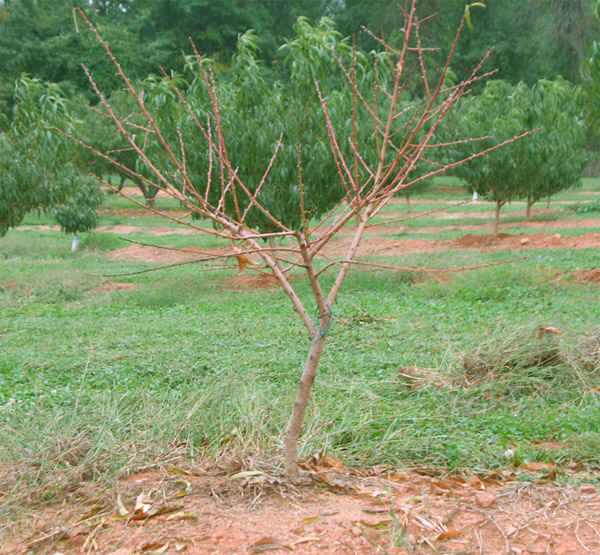 Field Evaluation of <i>Trichoderma</i> spp. for Control of Armillaria Root Rot of Peach