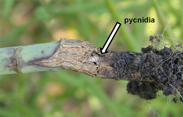 Outbreak of Blackleg in Canola in North Dakota is Caused by New Pathogenicity Groups