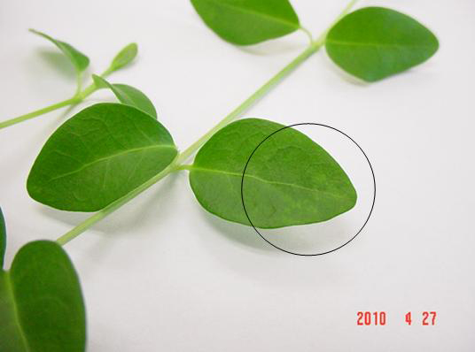 Identification of Three Distinct Classes of Satellite RNAs Associated With Two <i>Cucumber mosaic virus</i> Serotypes from the Ornamental Groundcover <i>Vinca minor</i>