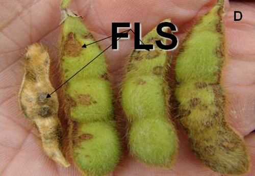 Resistance to Frogeye Leaf Spot in Selected Soybean Accessions in MG I through MG VI