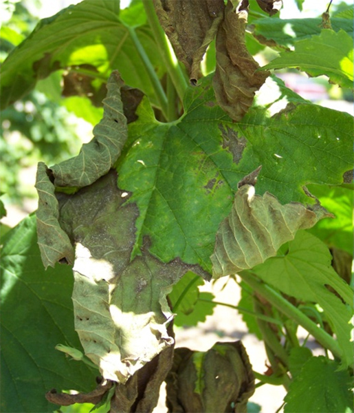 New Outbreaks of Verticillium Wilt on Hop in Oregon Caused by Nonlethal <i>Verticillium albo-atrum</i>