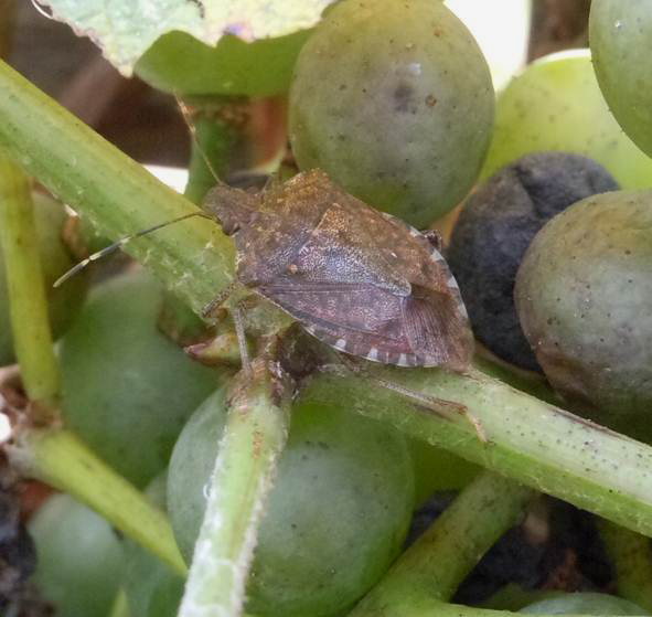 Effects of the Insect Growth Regulators Novaluron and Diflubenzuron on the Brown Marmorated Stink Bug