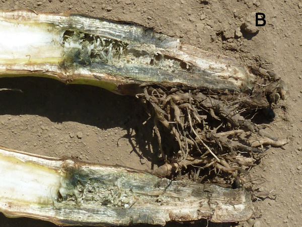 Sunflower Diseases Remain Rare in California Seed Production Fields Compared to North Dakota