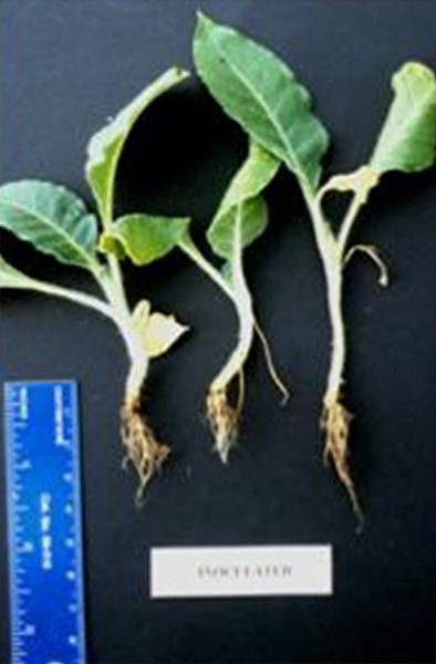Pythium Root Rot of Flue-Cured Tobacco Seedlings Produced in Greenhouses: Factors Associated with its Occurrence and Chemical Control