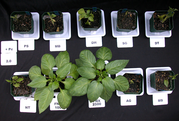 Evaluation of Biorational Products for Management of Phytophthora Blight of Bell Pepper Transplants