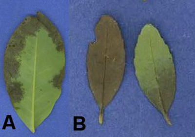 Screening Selected Gulf Coast and Southeastern Forest Species for Susceptibility to <i>Phytophthora ramorum</i>