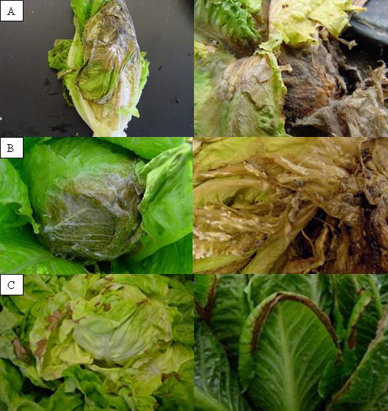 Effect of a High-Tunnel, Organic Cropping System on Lettuce Diseases in Western Washington