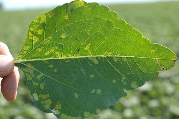 Prevalence and Incidence of Sunflower Downy Mildew in North Dakota Between 2001 and 2011