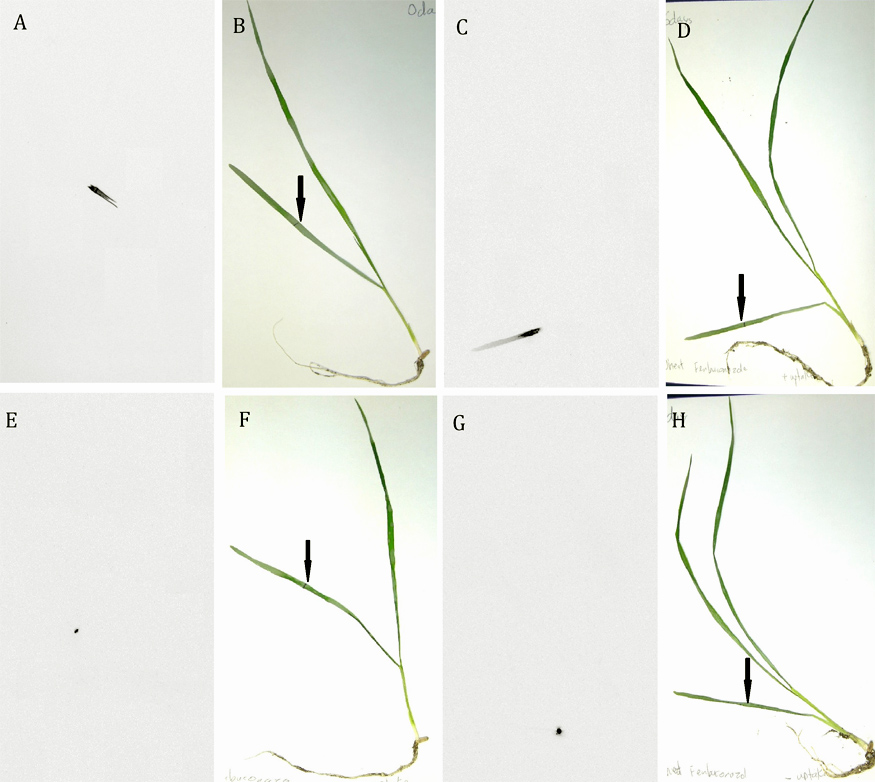 Use of Uptake Spraying Oil to Improve Fungicidal Activity of the Triazole Fungicide Fenbuconazole on <i>Puccinia triticina</i> and <i>Puccinia striiformis</i> Rusts of Wheat