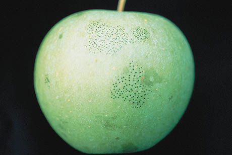 Methionine-Riboflavin and Potassium Bicarbonate-Polymer Sprays Control Apple Flyspeck and Sooty Blotch