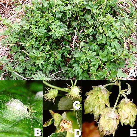 Development of Management Strategies for Hop Powdery Mildew in the Pacific Northwest