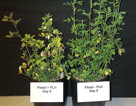 Interaction Between Flooding or Drought Stress and Potato Leafhopper Injury in Alfalfa