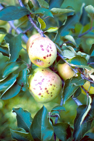 Effectiveness of Fosetyl-Aluminum and Streptomycin Alone and In Combination for Control of Blister Spot on Mutsu Apples in Ohio and New York