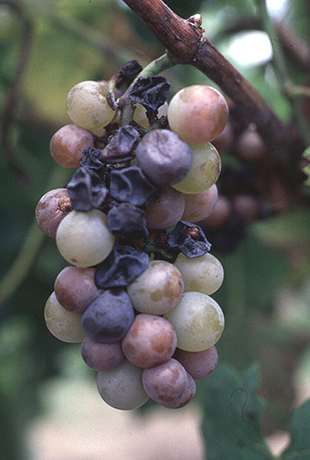 Infection of Grape Berry and Rachis Tissues by <i>Phomopsis viticola</i>
