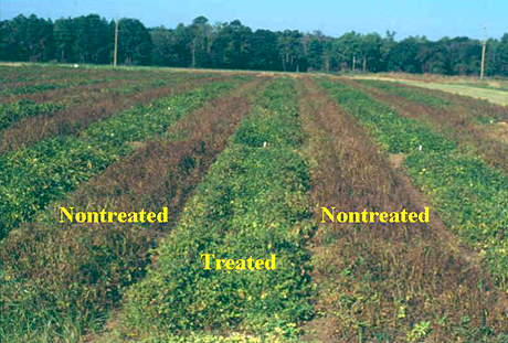 Management of Early Leaf Spot of Peanut with Pyraclostrobin as Affected by Rate and Spray Interval