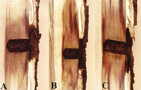 Etiology of Red Stain in Boxelder