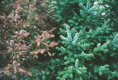 Susceptibility of Intermountain Douglas-Fir to Rhabdocline Needle Cast When Grown in the Pacific Northwest