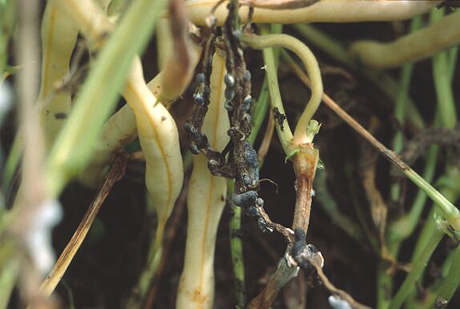 Alternatives to Vinclozolin (Ronilan) for Controlling Gray and White Mold on Snap Bean Pods in New York