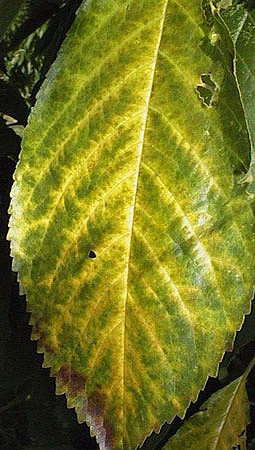 Managing Powdery Mildew of Cherry in Washington Orchards and Nurseries with Spray Oils