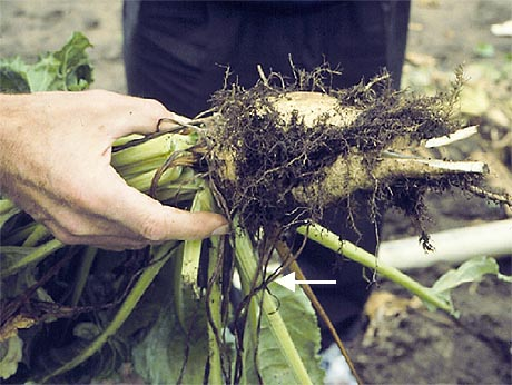 First Report and Virulence Evaluation of Erwinia carotovora subsp. betavasculorum on Sugarbeet in Montana