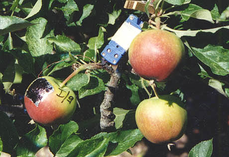Two Types of Sunburn in Apple Caused by High Fruit Surface (Peel) Temperature